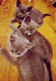 BKH-Kitten zu verkaufen