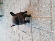 Französische Bulldoggen Mädchen suchen noch