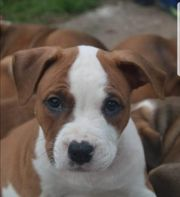 American Bully Mix Welpen