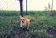 Reinrassige Chihuahua Welpin
