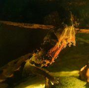 Rarität - Fransenschildkröten Mata Mata - Chelus fimbratus