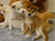 Wunderschöne Shiba Inu Welpen in