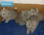 Katzenbabys BKH mix
