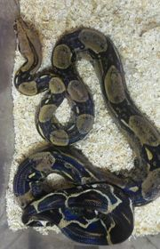 Boa constrictor imperator mix