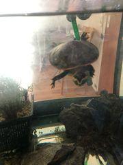 verkaufe 3 Wasserschildkröten