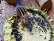 Chinesische Baumstreifenhörnchen Streifenhörnchen