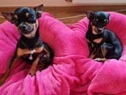 chihuahua toy terrier wurfankündigung