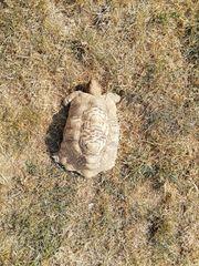 adulte Panterschildkröte
