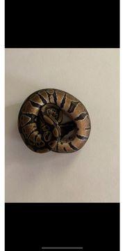python regius NZ20