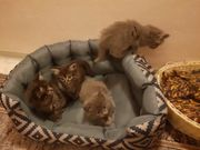 Perser-MainCoon-Mix Kätzchen zu verkaufen