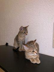 Baby Katzen sofort abzugeben