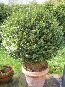Pflanzen - Grosse Buchsbaumkugel n in Terracotta-Topf