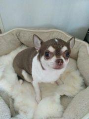 Superliebe Chihuahua Hündin kastriert - null