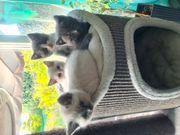 Heilige Birma BKH Mix Kitten