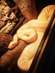 albino Boa constrictor ü2m