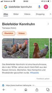 reinrassige Bielefelder kenn Hahn