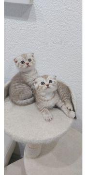 Süsse BKH Scottish Fold Kitten