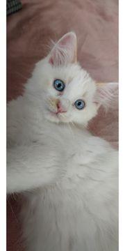 Reinrassige Ragdoll Kitten sofort Abgabebereit