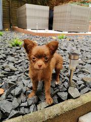 Chihuahua Hündin in schoko