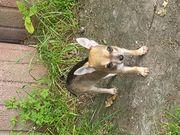 Kleine Chihuahua