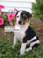 Unbezahlbare Jack Russell Terrier Welpen