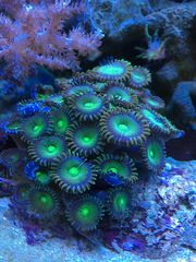 Koralle Krustenanemone ULTRA Zoas