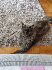 Maine Coon Xxl Kater