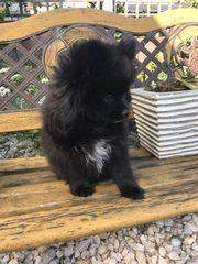 Zwergspitz Pomeranian Welpen Rüden und