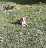 Suche Chihuahua oder Mischlingsmädchen