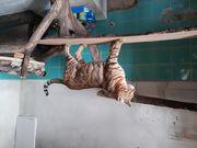Bengal Katze Kater