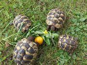 griechische Landschildkröten aus eigener Nachzucht