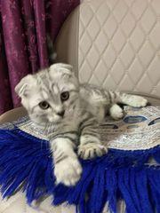 Mix Katze männlich BKH
