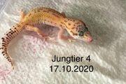 Leopardgecko Jungtiere von 2020
