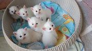 Heilige birma Kitten Babys
