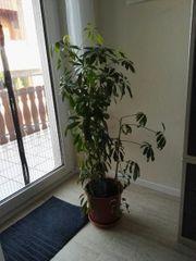 Schefflera Zimmerpflanze