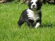 Border Collie-Ungarischer Hirtenhund mix Welpen