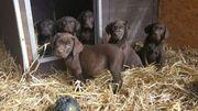 Wunderschöne Reinrassige Braune Labrador Welpen