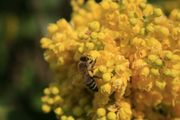 Bienenvölker Carnica auf Zander-Maß