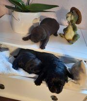 Wunderschöne Labrador Welpen choco black