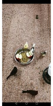 Kanarienvögel Jungtiere und ältere