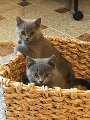 Reinrassigen BKH Kitten