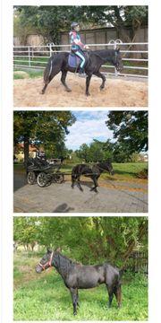 Pony schwarz Stute brav