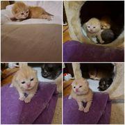 2 Kitten Bkh BLh