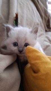 Ragdoll Heilige Birma Edelmix Kitten
