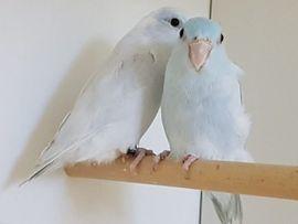 Papagei In Duisburg Tiermarkt Tiere Kaufen Quoka De
