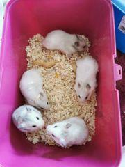Teddy Hamster babys Mädchen