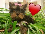 Yorkshire Terrier putziger mini Rüde
