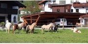 verschiedene Ponys abzugeben