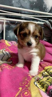 Yorkshire terrier Shih tzu Welpen