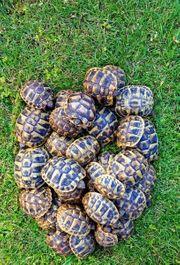 Landschildkröten griechische und breitrandschildkröten